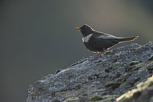 Ring Ouzel (Turdus torquatus) female perching on rock, Scotland, UK, May.  -  SCOTLAND: The Big Picture