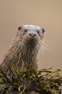 Eurasian otter (Lutra lutra) portrait, Scotland, UK, April. - SCOTLAND: The Big Picture