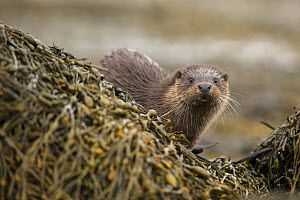 European otter (Lutra lutra) amongst kelp covered rocks, Scotland, UK, April.  -  SCOTLAND: The Big Picture