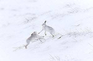 Two Mountain hares (Lepus timidus) boxing on snowy hillside, Scotland, UK, February.  -  SCOTLAND: The Big Picture