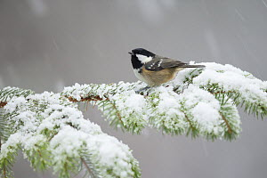 Coal tit (Periparus ater) perching on pine branch in snow, Scotland, UK, January.  -  SCOTLAND: The Big Picture