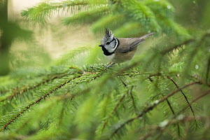 Crested tit (Lophophanes cristatus) perching amongst branches, Scotland, UK, January.  -  SCOTLAND: The Big Picture