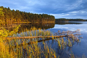 Loch Garten and surrounding pine forest in morning light, Abernethy, Cairngorms National Park, Scotland, UK, September 2013. - SCOTLAND: The Big Picture