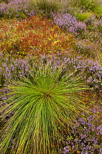 Mosiac of heather, bilberry and rush on upland heath, Cairngorms National Park, Scotland, UK, August.  -  SCOTLAND: The Big Picture