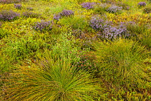 Mosiac of heather, bilberry, rushes and grasses on upland heath, Cairngorms National Park, Scotland, UK, August 2013.  -  SCOTLAND: The Big Picture