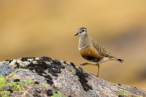 Dotterel (Charadrius morinellus) standing on rock, Cairngorms National Park, Scotland, UK, May.  -  SCOTLAND: The Big Picture