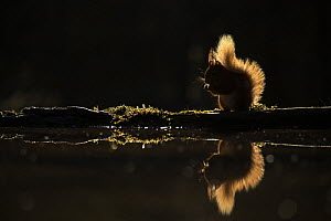 Red squirrel (Sciurus vulgaris) backlit on edge of woodland pool, Cairngorms National Park, Scotland, UK, May.  -  SCOTLAND: The Big Picture