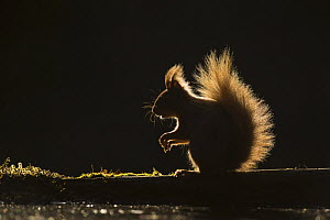 Red squirrel (Sciurus vulgaris) sitting on log, backlit at edge of woodland pool, Cairngorms National Park, Scotland, UK, May.  -  SCOTLAND: The Big Picture