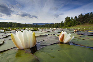 White water lily (Nymphaea alba) in flower, Cairngorms National Park, Scotland, UK, July.  -  SCOTLAND: The Big Picture