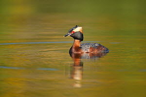 Slavonian grebe (Podiceps auritus) adult on breeding loch, Inverness-shire, Scotland, UK, May.  -  SCOTLAND: The Big Picture