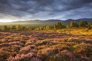 Heather moorland in flower, birch woodland and Cairngorm mountain range, Cairngorms National Park, Scotland, UK, - SCOTLAND: The Big Picture