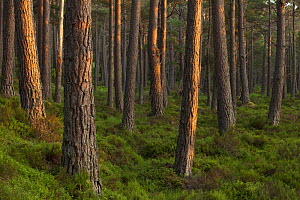 Scots pine (Pinus sylvestris) forest in evening light, Abernethy, Cairngorms National Park, Scotland, UK,June. - SCOTLAND: The Big Picture