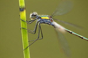 Emerald Damselfy (Lestes sponsa) close-up of adult male at rest, Cairngorms National Park, Scotland, UK, July.  -  SCOTLAND: The Big Picture