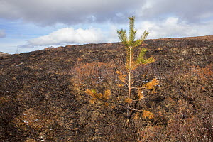 Pine sapling scorched during muirburn / burn on upland grouse shooting moor, Scotland, UK, April 2016. - SCOTLAND: The Big Picture