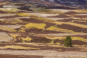 Patchwork of upland heather moorland and isolated pine tree on grouse shooting estate, northern Scotland, UK, April 2016. - SCOTLAND: The Big Picture