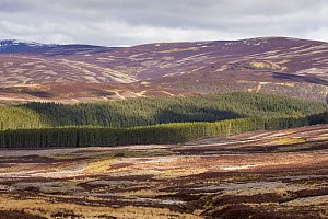 Mixed habitat of heather moorland and commercial forestry on grouse shooting estate, northern Scotland, UK, April 2016. - SCOTLAND: The Big Picture