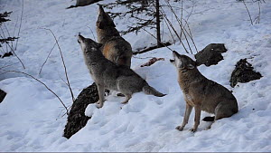 Pack of Grey wolves (Canis lupus)  howling, Bavarian Forest National Park, Germany, March. Captive. - Eric Baccega