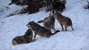 Pack of Grey wolves (Canis lupus) greeting and howling, Bavarian Forest National Park, Germany, March. Captive. - Eric Baccega