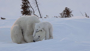 Female Polar bear (Ursus maritimus) resting, with cub climbing over her trying to find a warm place to sleep, Wapusk National Park, Manitoba, Canada, February.  -  Eric Baccega