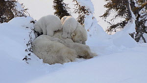 Female Polar bear (Ursus maritimus) grooming, with two cubs playing nearby, Wapusk National Park, Manitoba, Canada, February.  -  Eric Baccega