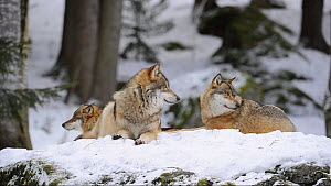 Grey wolves (Canis lupus) lying down and looking around before getting up. Bavarian Forest National Park, Germany, March. Captive. - Eric Baccega