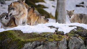 Pack of Grey wolves (Canis lupus) interacting, fighting, captive. Bavarian Forest National Park, Germany, March. Captive. - Eric Baccega