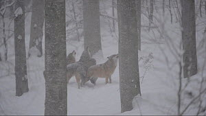 Pack of Grey wolves (Canis lupus) howling in the snow, captive. Bavarian Forest National Park, Germany, March. Captive.  -  Eric Baccega