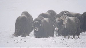 Small herd of Muskox (Ovibos moschatus) feeding in a blizzard, Banks Island, Northwest Territories, Canada. - Eric Baccega