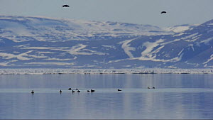Flock of Black guillemots (Cepphus grylle) swimming, Arctic Bay, Nunavut, Canada, June.  -  Eric Baccega