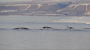 Narwhal (Monodon monoceros) at the sea surface. Baffin Island, Nunavut, Canada, June.  -  Eric Baccega