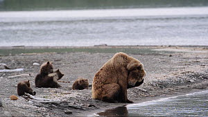 Female Grizzly bear (Ursus arctos horribilis) looking around and grooming, with four cubs playing nearby, Naknek Lake, Katmai National Park, Alaska, USA, July. - Eric Baccega