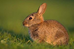 Rabbit (Oryctolagus cuniculus) juvenile, Burgundy, France. May.  -  Cyril Ruoso
