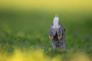 Rabbit (Oryctolagus cuniculus) juvenile running away, Burgundy, France. - Cyril Ruoso