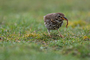 Mistle thrush (Turdus viscivorus) with worm prey,  Burgundy, France. - Cyril Ruoso
