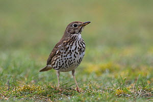 Mistle thrush (Turdus viscivorus)  Burgundy, France. - Cyril Ruoso