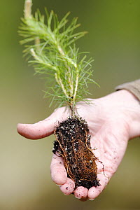 Person holding Scots pine tree (Pinus sylvestris) sapling / seedling  before planting,  Scotland, UK, May. - Peter Cairns