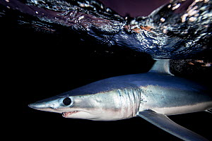 Shortfin mako shark (Isurus oxyrinchus) profile just beneath surface at night, off the East Coast of Auckland, New Zealand, June 2015 - Richard Robinson