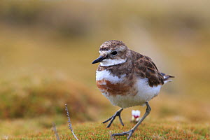 Auckland Island banded dotterel (Charadrius bicinctus exilis) Enderby Island in the subantarctic Auckland Islands archipelago, New Zealand, January Editorial use only.  -  Richard Robinson