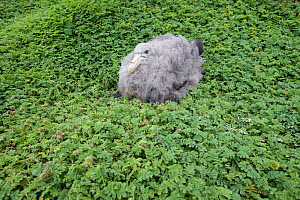Northern giant petrel (Macronectes halli) chick sits upon a bed of Acaena minor (var. antarctica) a prostrate dicotyledonous herb at Enderby Island in the subantarctic Auckland Islands archipelago, Ne...  -  Richard Robinson