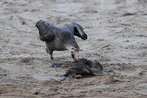Northern giant petrel (Macronectes halli) feeds on dead New Zealand sealion pup (Phocarctos hookeri) Enderby Island in the subantarctic Auckland Islands archipelago, New Zealand, January Editorial use...  -  Richard Robinson