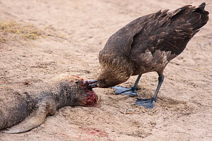 Subantarctic skua (Catharacta Antarctica) feeds on a dead New Zealand sealion pup (Phocarctos hookeri) Enderby Island in the subantarctic Auckland Islands archipelago, New Zealand, January  -  Richard Robinson