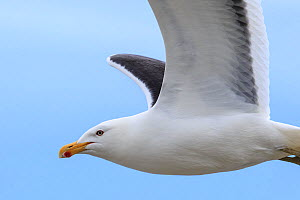 Southern black backed gull (Larus dominicanus) in flight, Enderby Island in the subantarctic Auckland Islands archipelago, New Zealand, January Editorial use only.  -  Richard Robinson