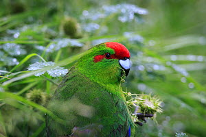 Red crowned parakeet (Cyanoramphus novaezelandiae) at Enderby Island in the subantarctic Auckland Islands archipelago, New Zealand, January - Richard Robinson