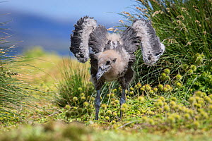 Subantarctic skua (Catharacta antarctica) chick stretching wings,  Enderby Island in the subantarctic Auckland Islands archipelago, New Zealand, January  -  Richard Robinson