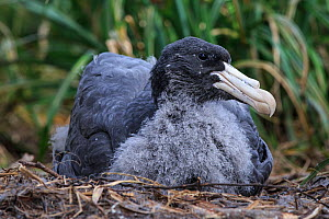 Northern giant petrel (Macronectes halli) juvenile on ground, Enderby Island in the subantarctic Auckland Islands archipelago, New Zealand, January Editorial use only.  -  Richard Robinson