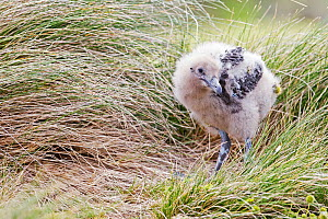 Subantarctic skua (Catharacta antarctica) chick at Enderby Island in the subantarctic Auckland Islands archipelago, New Zealand, January - Richard Robinson