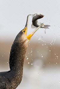 Cormorant (Phalacrocorax carbo) swallowing caught fish, Hungary January  -  Markus Varesvuo