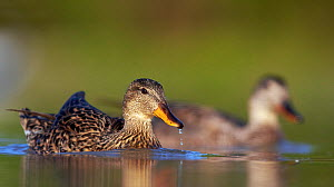 Gadwall (Anas strepera) male and female pair on water, Hungary May  -  Markus Varesvuo