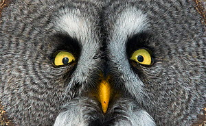 Great grey owl (Strix nebulosa) close up of face, Kuusamo, Finland, March - Markus Varesvuo