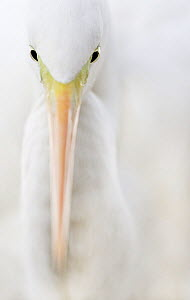 Great white egret (Egretta alba) head portrait, Hungary January - Markus Varesvuo
